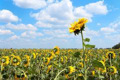 Stock Photo of sunflower field