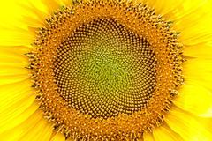 Stock Photo of bright sunflower