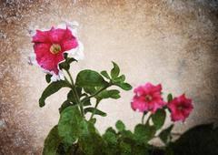 old photo petunia flower - stock photo