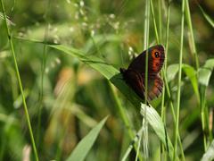 arran brown butterfly erebia ligea - stock photo