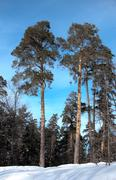 tall pines in a winter forest - stock photo