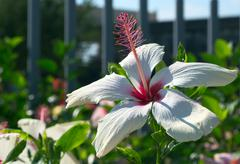 white hibiscus flower - stock photo