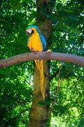 blue-and-yellow macaw (ara ararauna) - stock photo