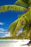 palm on island saona - stock photo