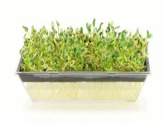 Stock Video Footage of Time-lapse of growing fenugreek cress seeds in germination box 1b (DCI-2k)