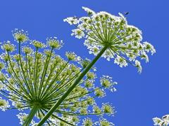 giant hogweed, in latin: heracleum sphondylium - stock photo