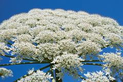 giant hogweed flowering - stock photo