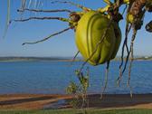 Fresh green coconut growing Stock Photos