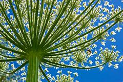 giant hogweed (heracleum sphondylium) from below - stock photo