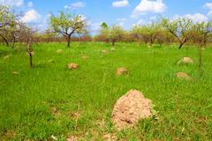 Anthill among spring herbs Stock Photos