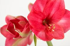 Royal red amaryllis Stock Photos