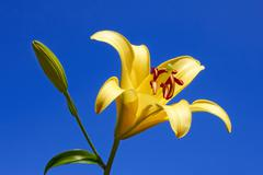 yellow lily close-up - stock photo