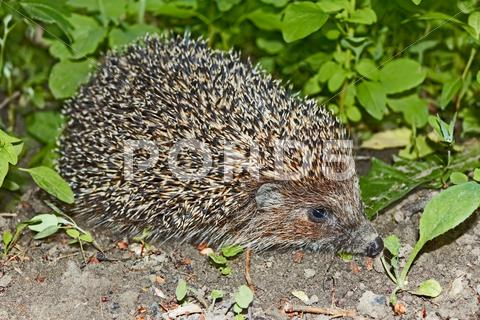Stock photo of hedgehog at night