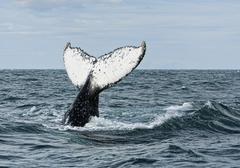jubarte whale - sighted off coast at prado, bahia, brazil - stock photo