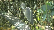 Stock Video Footage of Great blue heron (Ardea herodias)