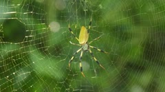 Banana spider (Nephila clavipes) Stock Footage