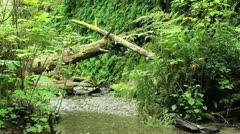 Redwood Forest 56 Fern Canyon Stock Footage
