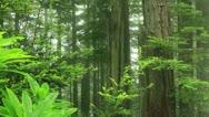 Redwood Forest 64 Fog Timelapse Stock Footage