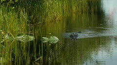 Alligator swimming in Everglades Florida swamp 30p Stock Footage