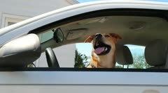Dog in a car Stock Footage