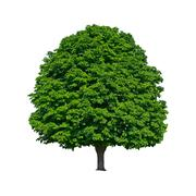 large green chestnut tree grows in isolation - stock photo