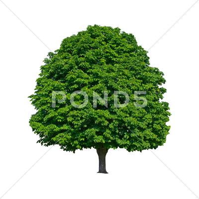 Stock photo of large green chestnut tree grows in isolation