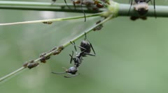 Insect ant and aphid Stock Footage