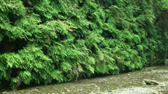Redwood Forest 44 Fern Canyon Stock Footage