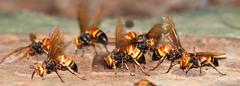 wasp bee macro - stock photo