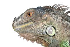 Reptile animal lizard green iguana Stock Photos