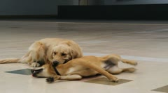 Canine playing together - stock footage