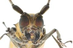 Insect mulberry borer beetle head Stock Photos