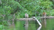 Amid Nature - Whitetail Deer, does, buck and fawn, gather at the lakeshore. Stock Footage