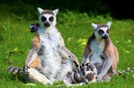 Stock Photo of Lemur Catta family