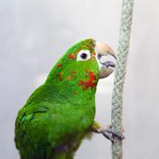 Papukaija lintu Kuvituskuvat