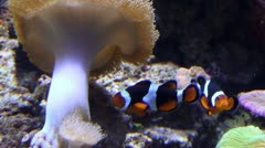 Clownfish swimming near the sea anemone Stock Footage