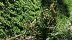 Redwood Forest 52 Fern Canyon Stock Footage