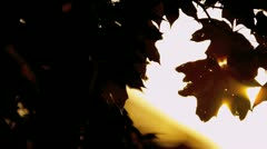 Sun Shining Behind Autumn Leaves - stock footage