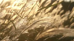 yellow grass - stock footage