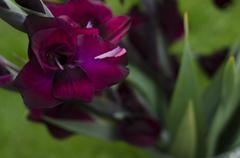 Opening flower of burgundy -crimson gladiola-gladioli growing Stock Photos