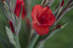 A Spay of Scarlet Red Gladioli - stock photo