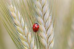 Ladybug on a spike Stock Photos