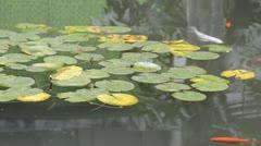 Lotus leaf Stock Footage