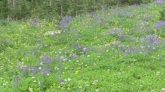 Alpine Meadow Wildflowers 01 Stock Footage