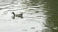 duck swim - stock footage