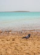 Pigeon on the bank of the dead sea Stock Photos