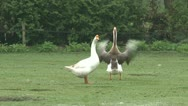 Stock Video Footage of Goose stretching his wings