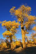 Stock Photo of trees with yellow leaves