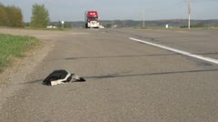 Transport truck passes dead skunk road kill Stock Footage