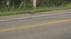 Car passes dead skunk road kill Stock Footage